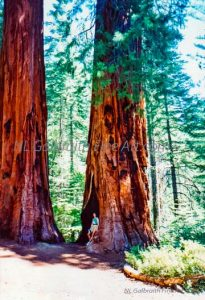 The Giant Sequoia Trees, Yosemite #6